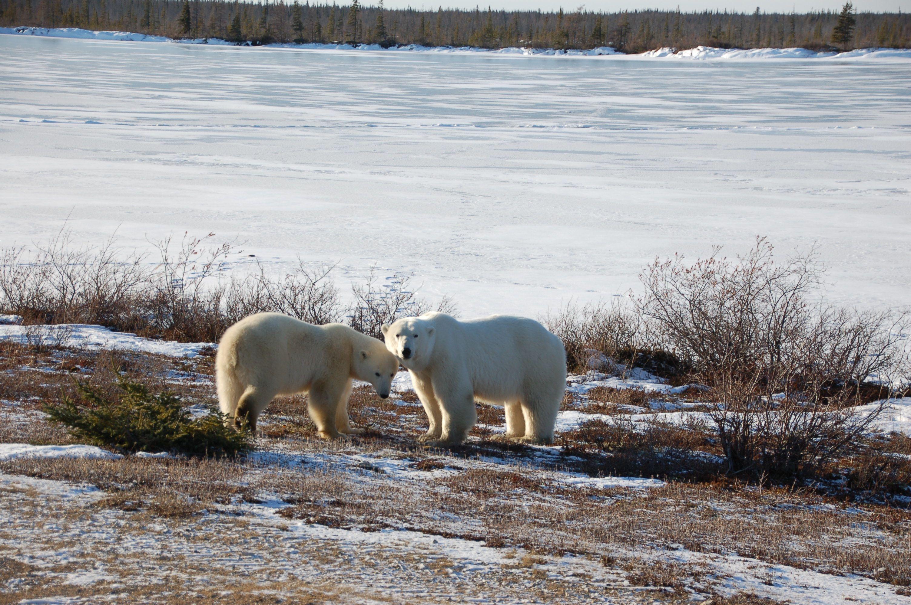 Eisbären in Manitoba04