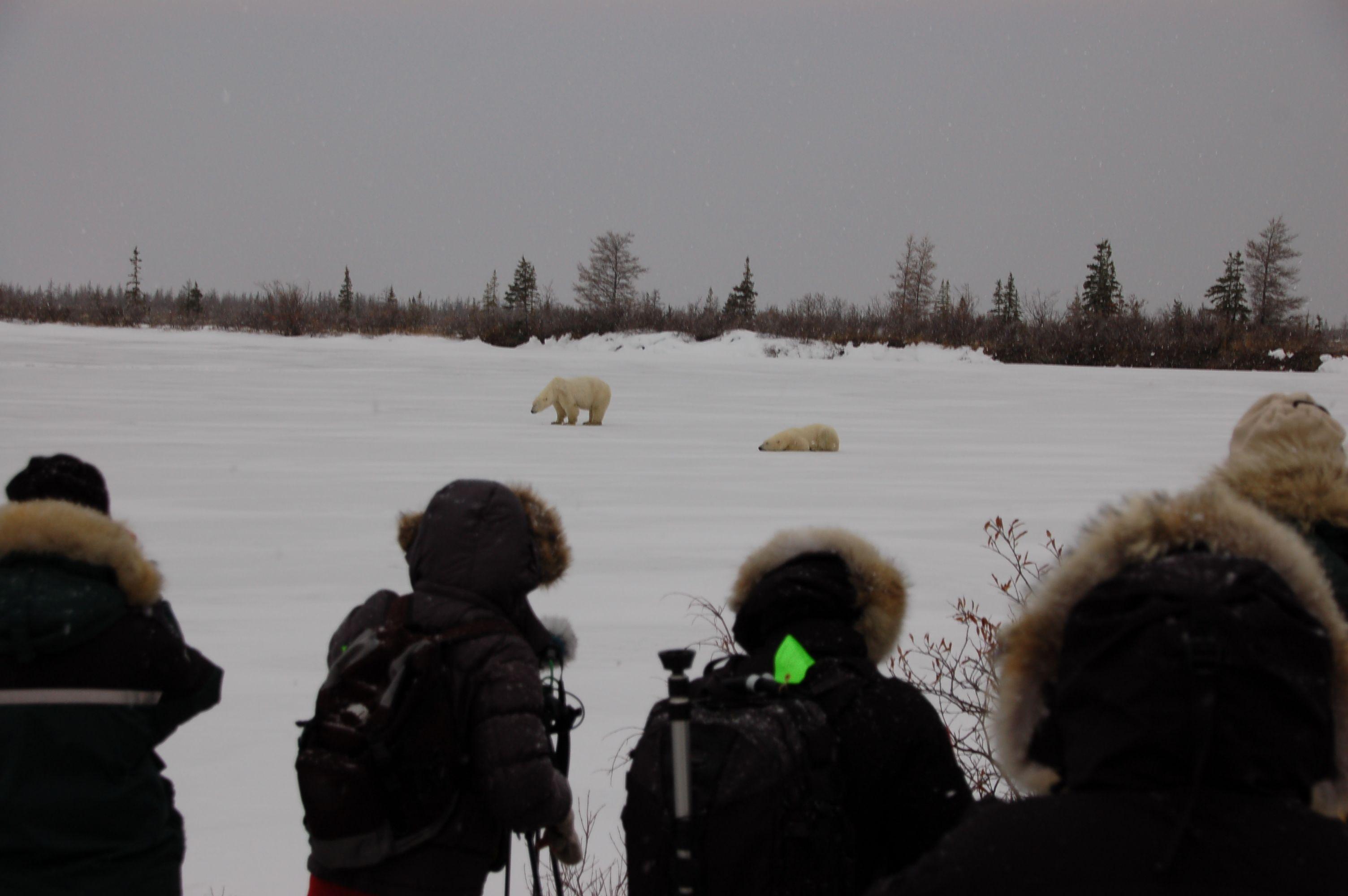 Eisbären in Manitoba07
