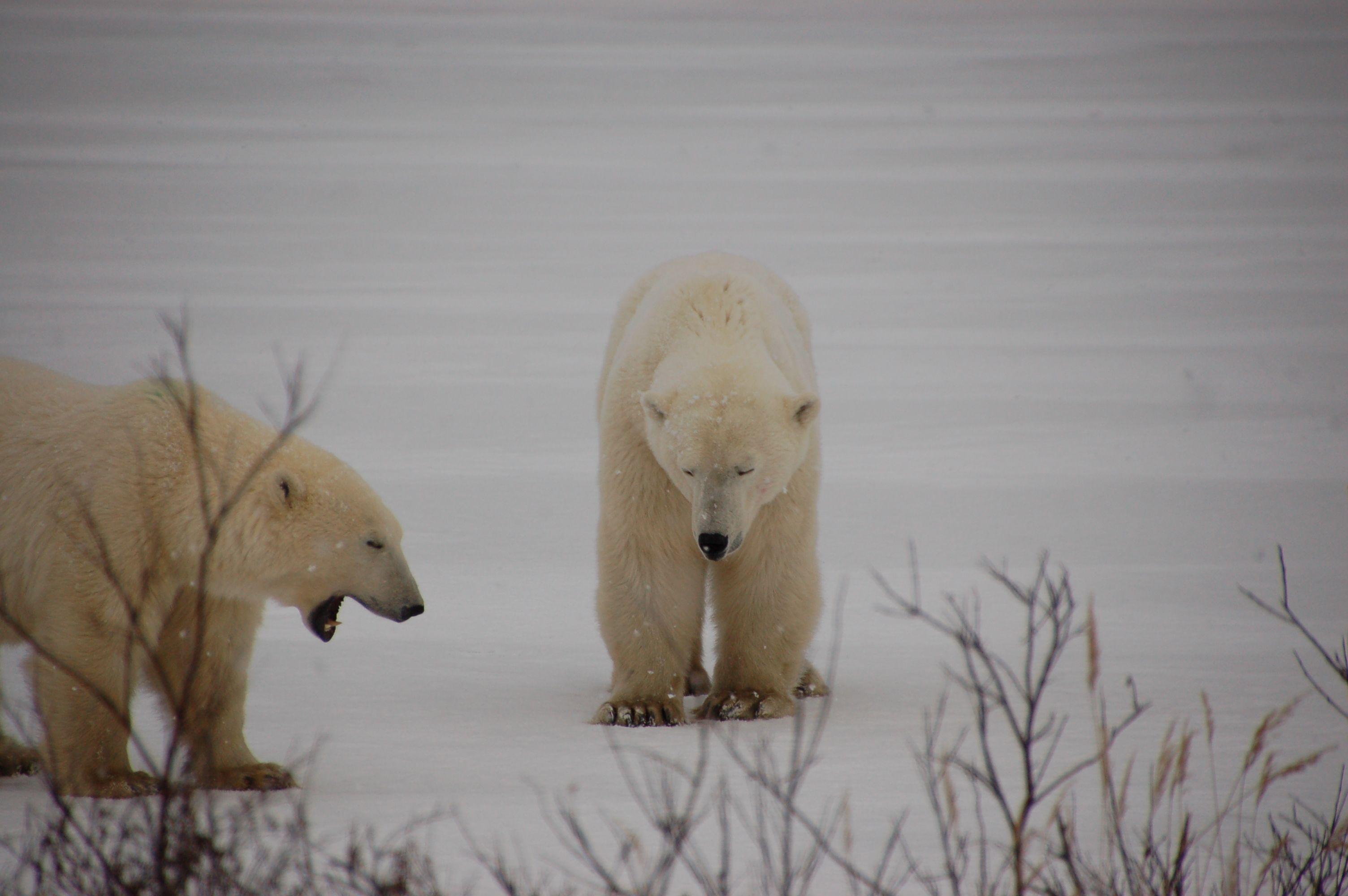 Eisbären in Manitoba08