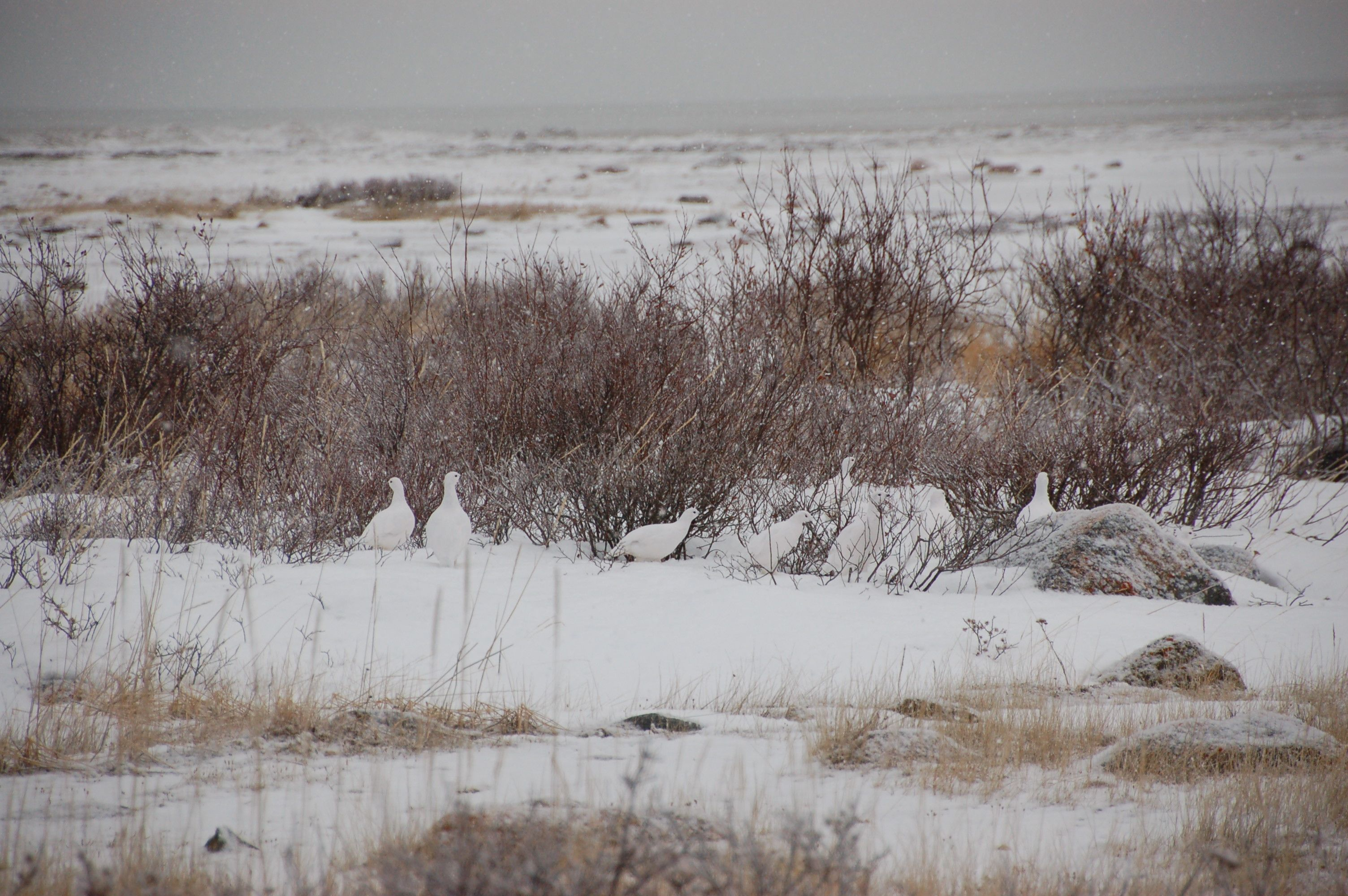 Eisbären in Manitoba10