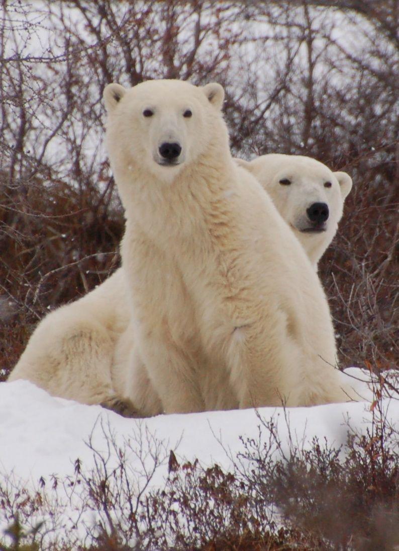 Eisbären in Manitoba12