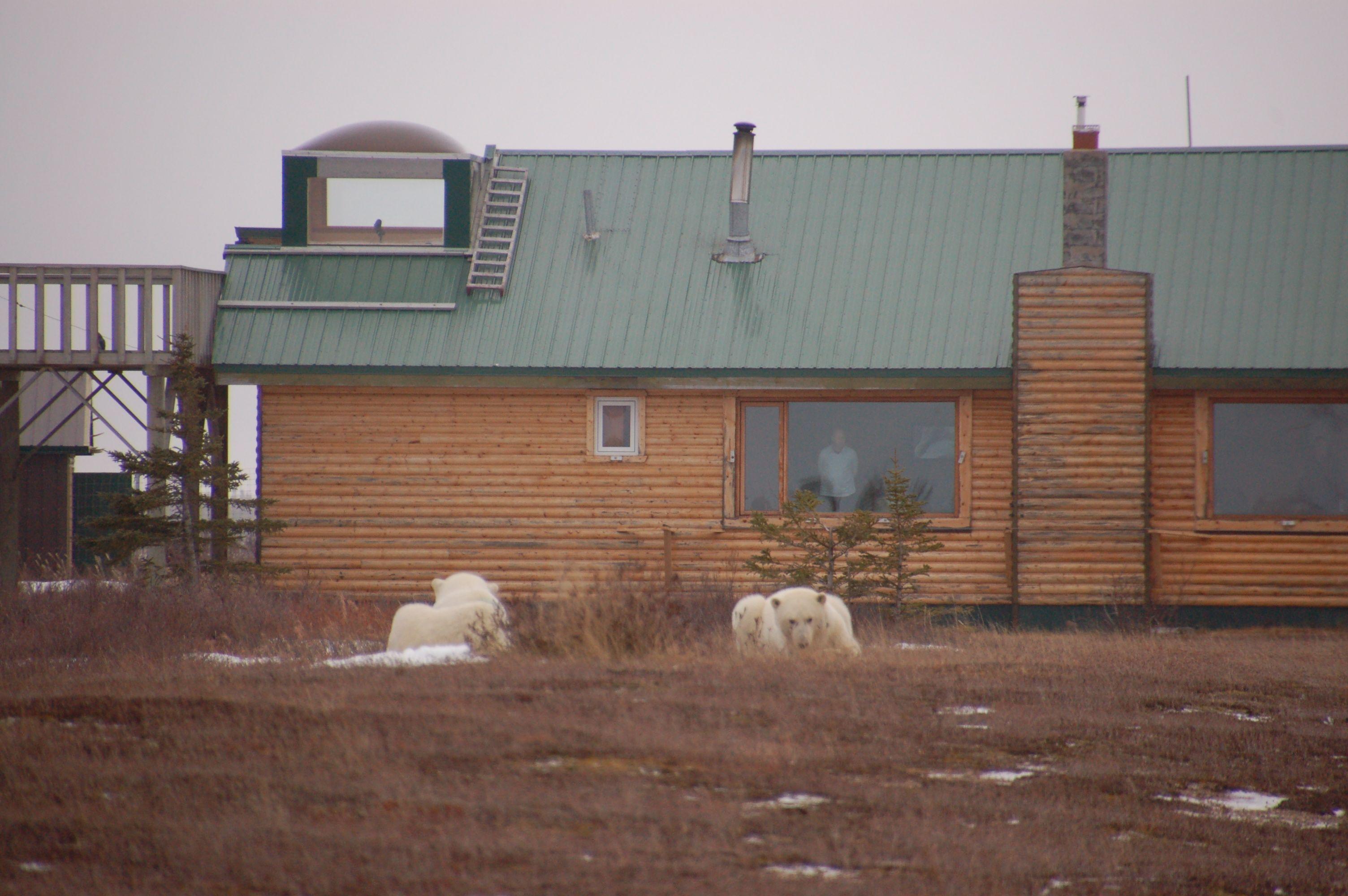 Eisbären in Manitoba17