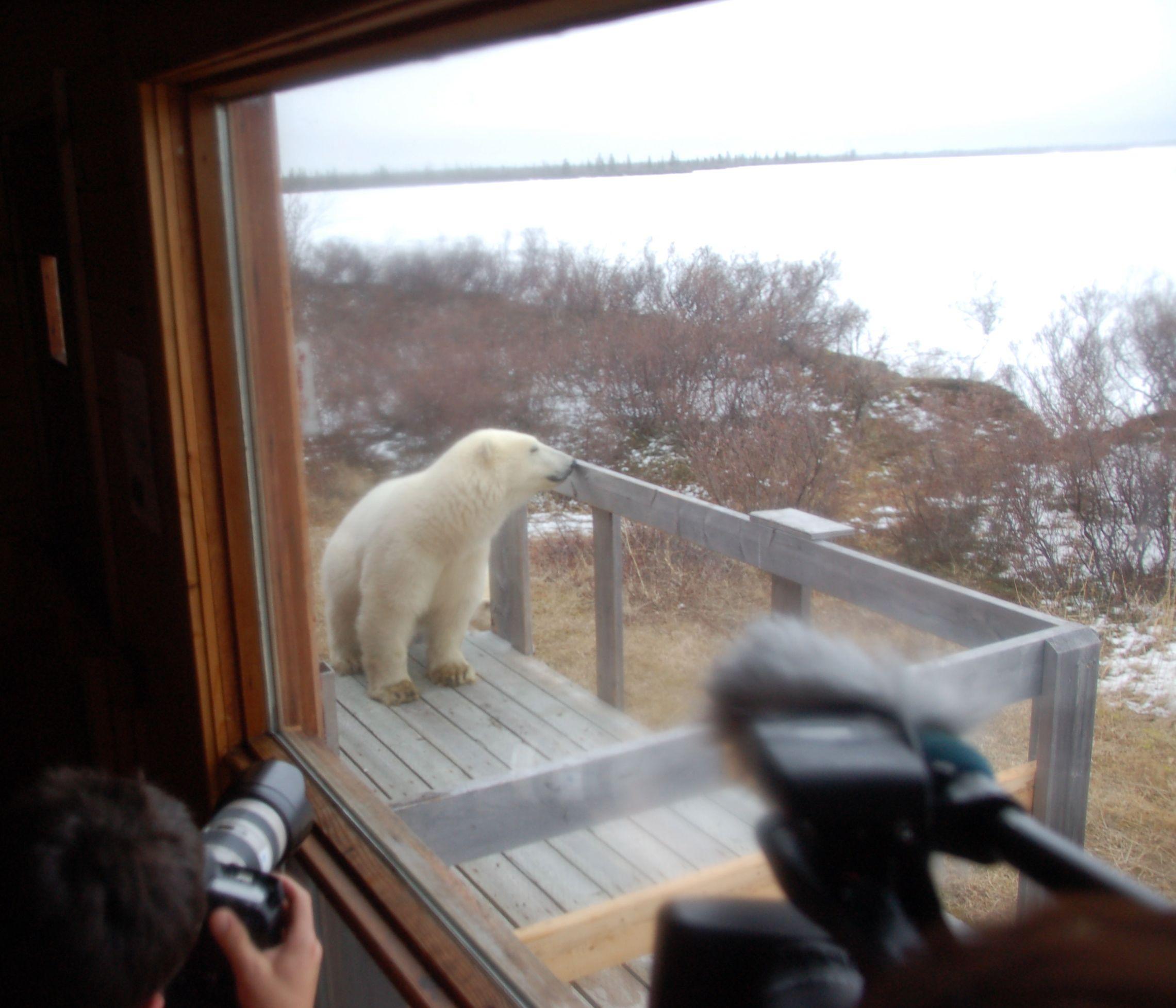 Eisbären in Manitoba19