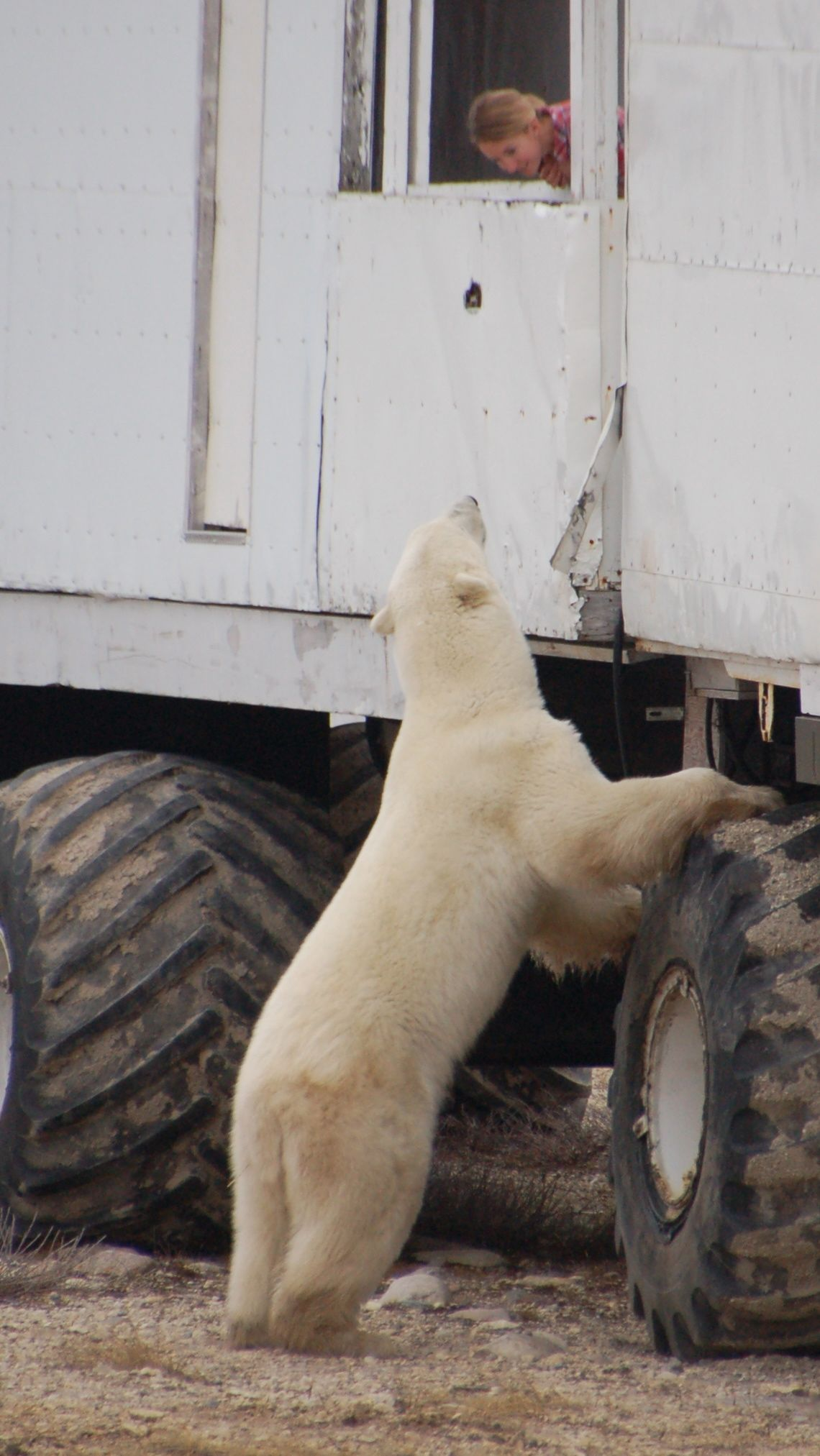 Eisbären in Manitoba25
